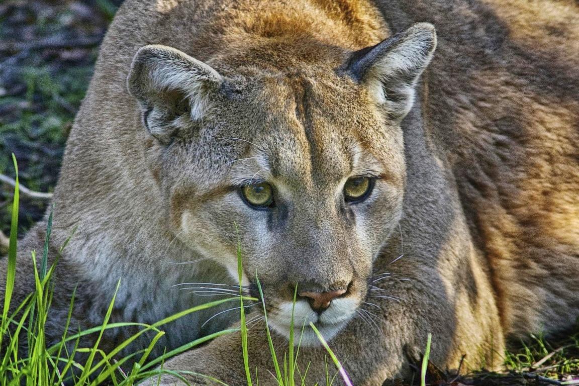 A onça-parda (Puma concolor) é conhecida por ter hábitos solitários e atividades predominantemente noturnas. Foto: Valerie/Flickr.