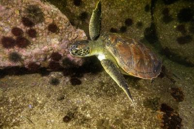 Tartaruga-verde nadando na Urca. Foto: Ricardo Gomes.