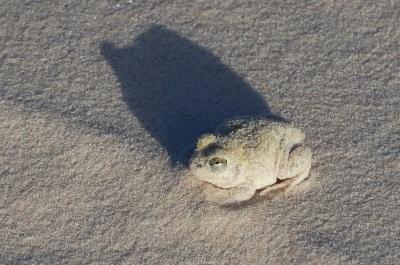 O diminuto sapo branco envolto em areia teria passado despercebido não fossem os olhos treinados do guia. Foto: Duda Menegassi.
