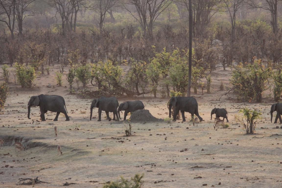 O extermínio de elefantes na África é alimentado pelo tráfico ilegal de marfim. Foto: Joepyrek/Flickr.
