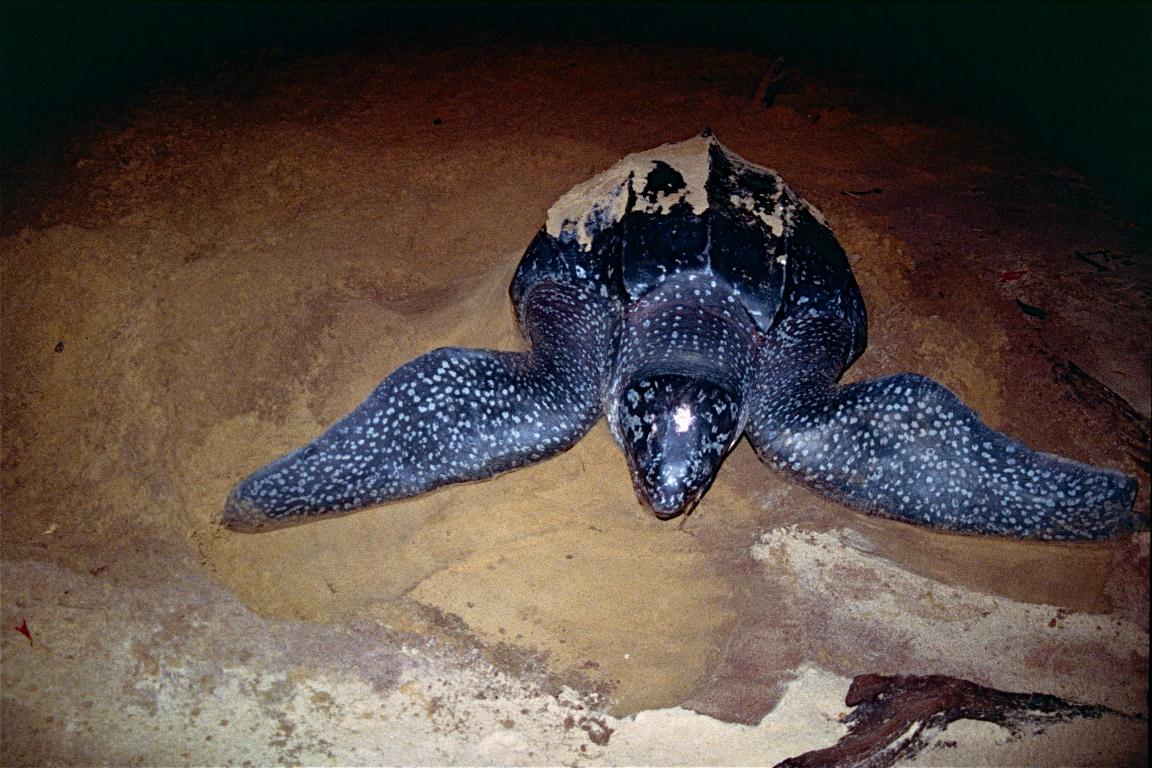 O Gabão abriga a maior colônia de reprodução tartarugas-de-couro (Dermochelys coriacea) do mundo. Foto: Bernard dupont/Flickr.