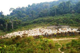 Vista de reabanho de gado na Flona de Jamanxim, alvo da Operação Boi Pirata II . Foto: Nelson Feitosa/Ibama.