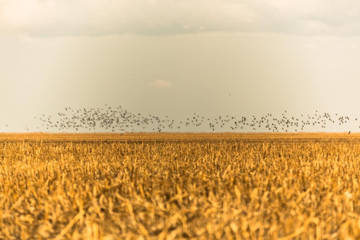Pássaros em revoada sobre área de lavoura no Matopiba. Foto: Thiago Foresti/Ipam.