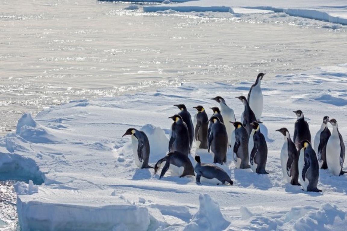 Pinguins-imperadores em banquisa antártica. Foto: WHOI.