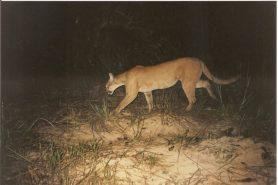 Mata regenerada também é abrigo de médios e grandes mamíferos, como a suçuarana (acima). Foto: Divulgação.