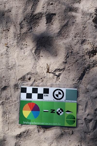 Registro de uma pegada de uma onça-parda no meio da trilha. Foto: Duda Menegassi.