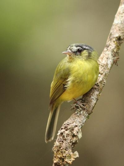 O barbudinho (Phylloscartes eximius) é uma ave rara e ameaçada. No estado de São Paulo só é encontrada na Serra da Cantareira. Foto: Wagner Nogueira.