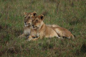 Leões e leoas já dominaram Europa, Índia e praticamente toda a África.Hoje, esse grande felino é encontrado apenas em áreas espalhadas ao Sul do Deserto do Saara e em uma minúscula área no Oeste da Índia. Foto: Marc/Flickr.