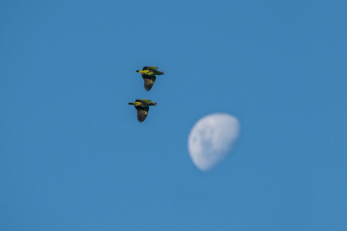 Papagaio-de-cara-roxa. Foto: Zig Koch/Divulgação.
