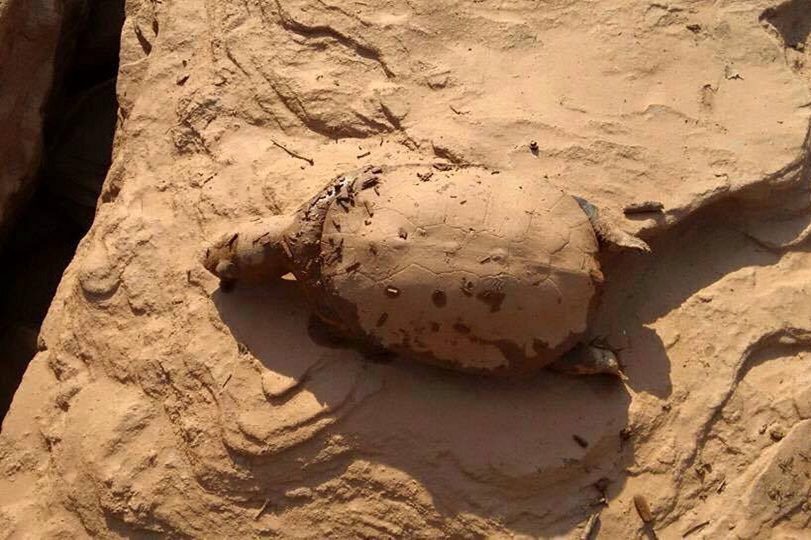 Tamar irá monitorar como a lama tóxica afeta as tartarugas. Foto: Outras Palavras.