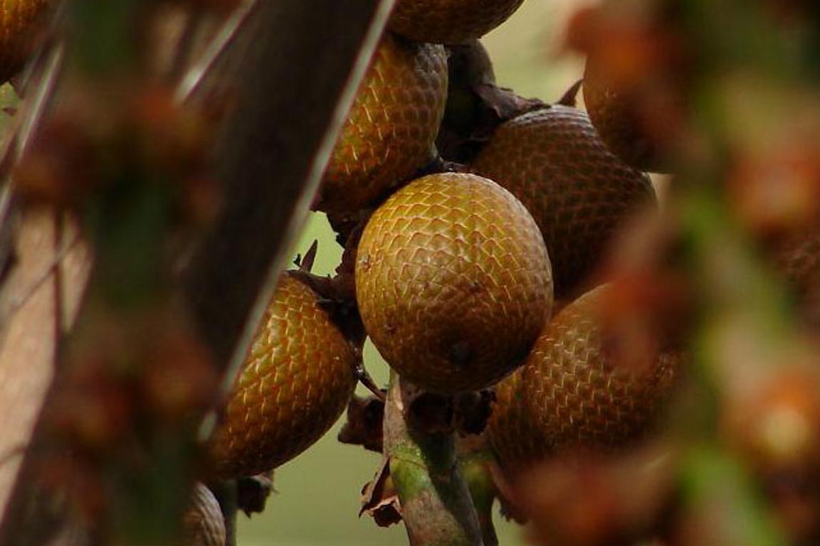 Buriti, espécie comum da região Centro-Oeste. Foto: Karina Carvalho de Oliveira/Flickr.