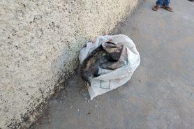 Gambá foi visto por moradores em cima de uma sacola plástica na calçada no Bairro de Santa Rosa, Uberlândia, Minas Gerais. Foto: Polícia Ambiental/Divulgação.