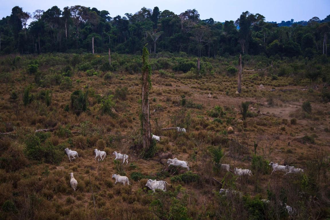 Gado na Floresta Nacional do Jamanxim, no Pará. Foto: Bernardo Câmara.