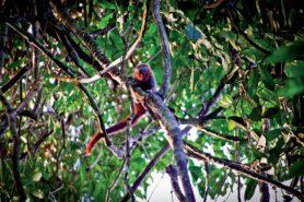 Macaco zogue-zogue-rabo-de-fogo (Plecturocebus miltoni): Macaco da espécie 'zogue-zogue' foi encontrado em unidades de conservação, segundo pesquisador. Foto: Júlio Dalponte.