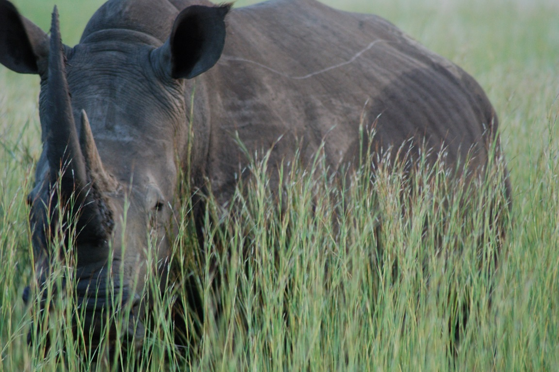 O comércio de chifres é responsável pela morte de milhares de rinocerontes por ano, empurrando os animais para a extinção. Foto: Nick Farnhill/Flickr.