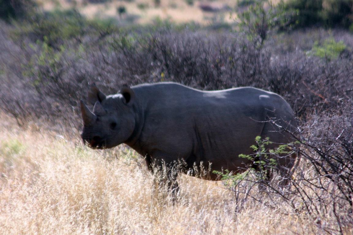 O rinoceronte negro (Diceros bicornis), assim como o rinoceronte-branco, estão sendo extintos em Moçambique. Foto: Charles Sharp-Flickr.