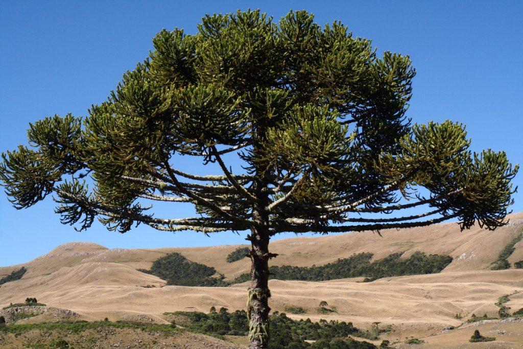 Araucária no Parque Nacional de São Joaquim (SC). Foto: Mathieu Bertrand Struck/Flickr.
