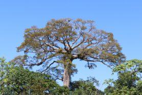 Seca limita a diversidade de árvores na floresta amazônica. Foto: Vandré Fonseca.