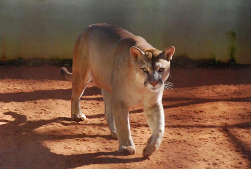 Onça-parda no Centro de Reabilitação de Animais Silvestres (CRAS), em Campo Grande, MS. Foto: Fabio Pellegrini.
