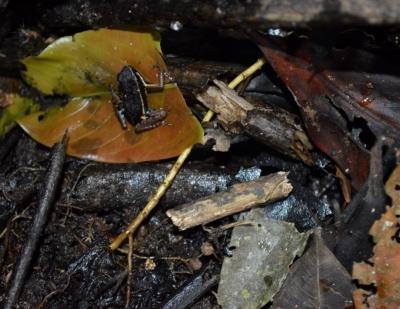 Agrupamento de sapos foi registrado durante cheia na Reserva de Desenvolvimento Sustentável Mamirauá. Foto: Wezddy Del Toro.