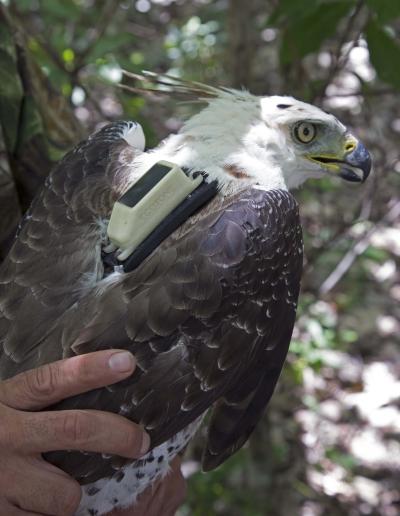 Radio transmissor pesa apenas 22 gramas e foi feito para não incomodar a ave. Foto: Divulgação.