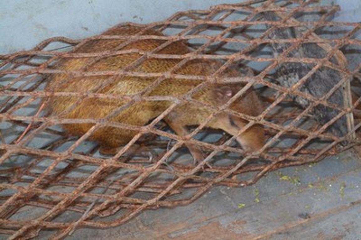 Um dos animais resgatados na operação de Fiscalização Preventiva Integrada da Bacia Hidrográfica do Rio São Francisco. Foto: FPI/Divulgação.