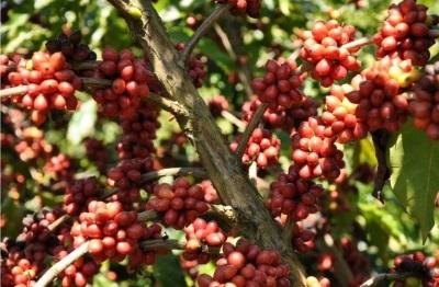 Plantação de café. Foto: Imaflora.