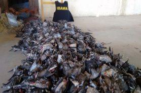 Aves mortas, motos e equipamentos apreendidos na Operação Migratorius. Foto: Ibama/Divulgação.