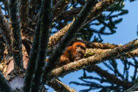 Macaco Bugio registrado em área de Floresta com Araucária da Lapa, um dos municípios que zeraria a arrecadação proveniente do ICMS Ecológico garantido por áreas compreendidas hoje pela APA da Escarpa Devoniana, caso o PL 527/2016 seja aprovado. Foto: Zig Koch.