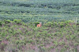 Lobo-guará fotografado na área da APA da Escarpa Devoniana. Foto: Romulo Cícero da Silva.