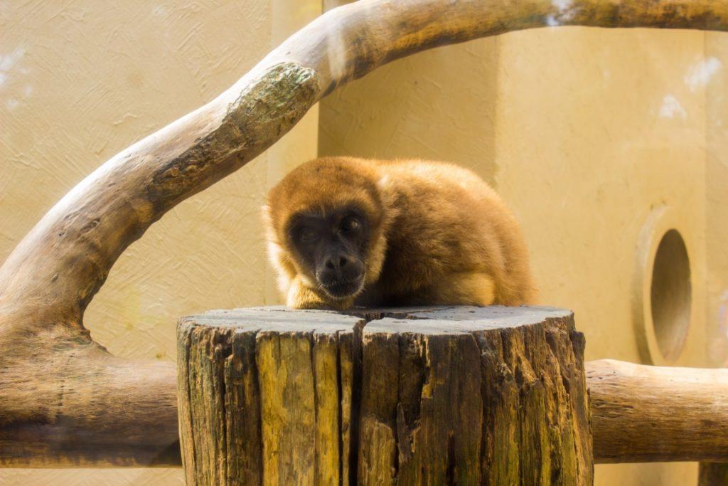 Um muriqui-do-sul em cativeiro no zoológico de Sorocaba. Foto: Wikipédia.