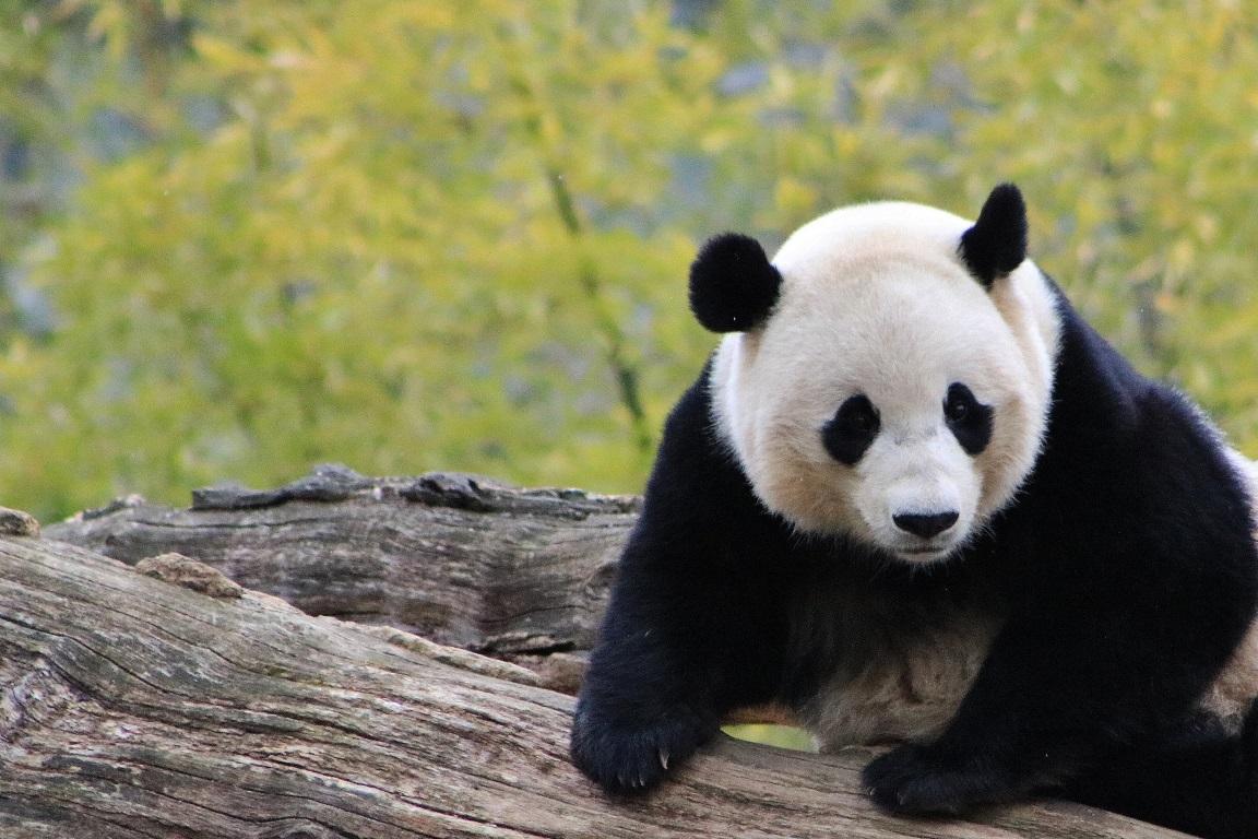 Estudo de cientistas chineses relata que os habitats dos pandas gigantes têm diminuído de forma significativa desde 1990. Foto: katalin kerekes/Flickr.