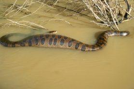 Homem foi multado por não ter autorização de manusear a cobra. Acima, uma Sucuri nada num rio. Foto: Wikipédia.