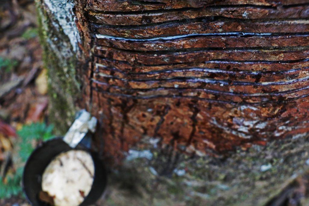 Em destaque o corte na seringueira, abaixo o pote para recolher a borracha. Foto: Duda Menegassi.