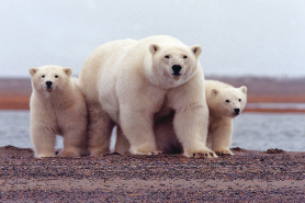O Refúgio do Ártico, localizado no estado do Alasca, está fechado para perfuração comercial, há décadas, devido às preocupações sobre o impacto nos ursos polares, renas e outro animais da região. Foto: U.S. Fish and Wildlife Service Headquarters/Flickr.