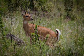 Veado-campeiro (Ozotoceros bezoarticus). Foto: Bart van Dorp/Flickr.