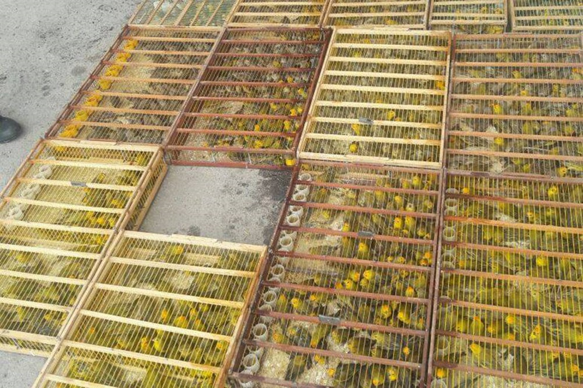 O Ibama já apreendeu 3.775 animais destinados ao mercado ilegal, isso sem falar no número de animais traficados que pode chegar a cem vezes mais. Foto: Apreensão de aves, em 2016 - PRF/Bahia/Divulgação)