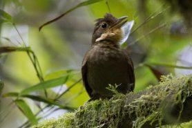 Estudo com reproduções de áudio indicam que as duas populações do barranqueiro-camursa (Automolus ochrolaemus) não se reconhecem pelos sons. Foto: B. van Doren