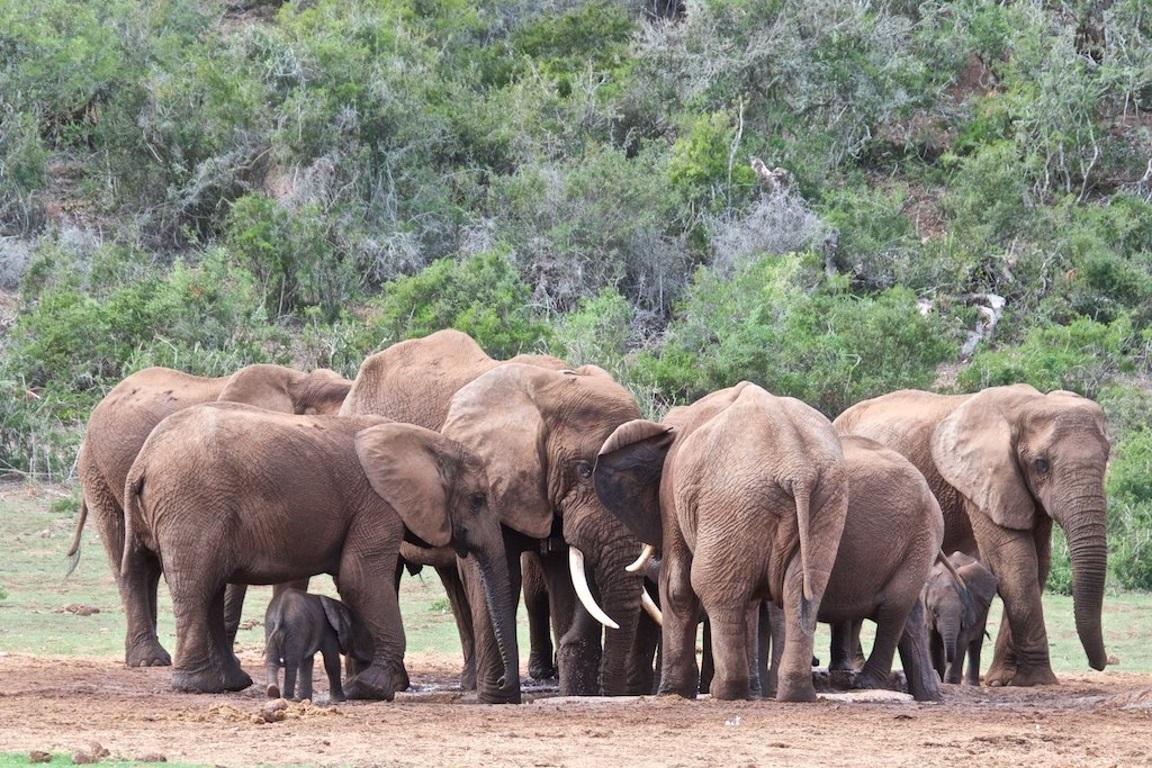 A caça furtiva diminuiu pelo quinto ano consecutivo, porém o número de elefantes teve uma diminuição de 111 mil em dez anos. Foto: Brian Rhalps/Flickr.