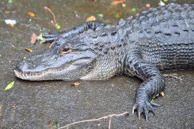 Jacarés americanos, chamados de Alligator mississippiensis, estão comendo pequenos tubarões e arraias. Essa revelação faz parte de um artigo publicado na revista científica Southeastern Naturalist. Foto: Heather Paul/Flickr.