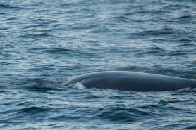 A Baleia-de-Bryde, num raro momento em que resolveu dar o ar de sua graça. Foto: Arlaine Francisco.