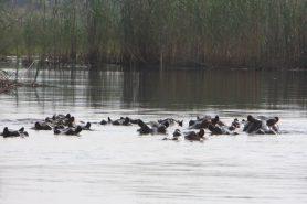 O ministro do meio ambiente da Namíbia, Pohamba Shifeta, anunciou que mais de 100 hipopótamos morreram no Parque Nacional de Bwabwata. Causa provável da morte seria antraz. Foto: Matthew Golding/Flickr.