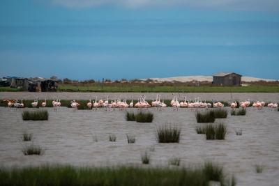 Flamingos-chilenos no Parque Nacional Lagoa do Peixe. Foto: Roberto Dall'Agnol/Wikiparques.