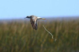 Maçarico-da-perna-amarela predomina sobrevoando o Parque Nacional Lagoa do Peixe. Foto: Aquiles Bastiani Naressi/Wikiparques.