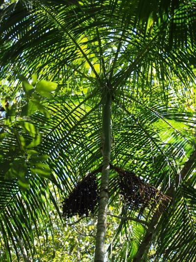 Palmeira Juçara (Euterpe edulis) está na lista vermelha de espécies da flora ameaçada de extinção. Foto: Rita Portela.