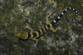 Cyrtodactylus bintangtinggi, réptil encontrado na Península da Malásia. Crédito: Divulgação.