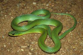 A cobra verde (Erythrolamprus viridis). Foto: Ivan Sazima/Divulgação.