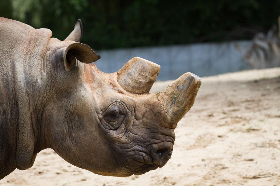 Caçadores matam rinocerontes para cortar os chifres e vender. Foto: Cloudtall Snow Leopard/Flickr.