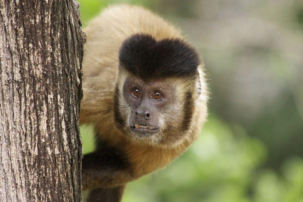 O excesso de macaco-prego em Poço das Antas pode levar a extinção local da palmeira Juçara. Foto: Wikipédia.