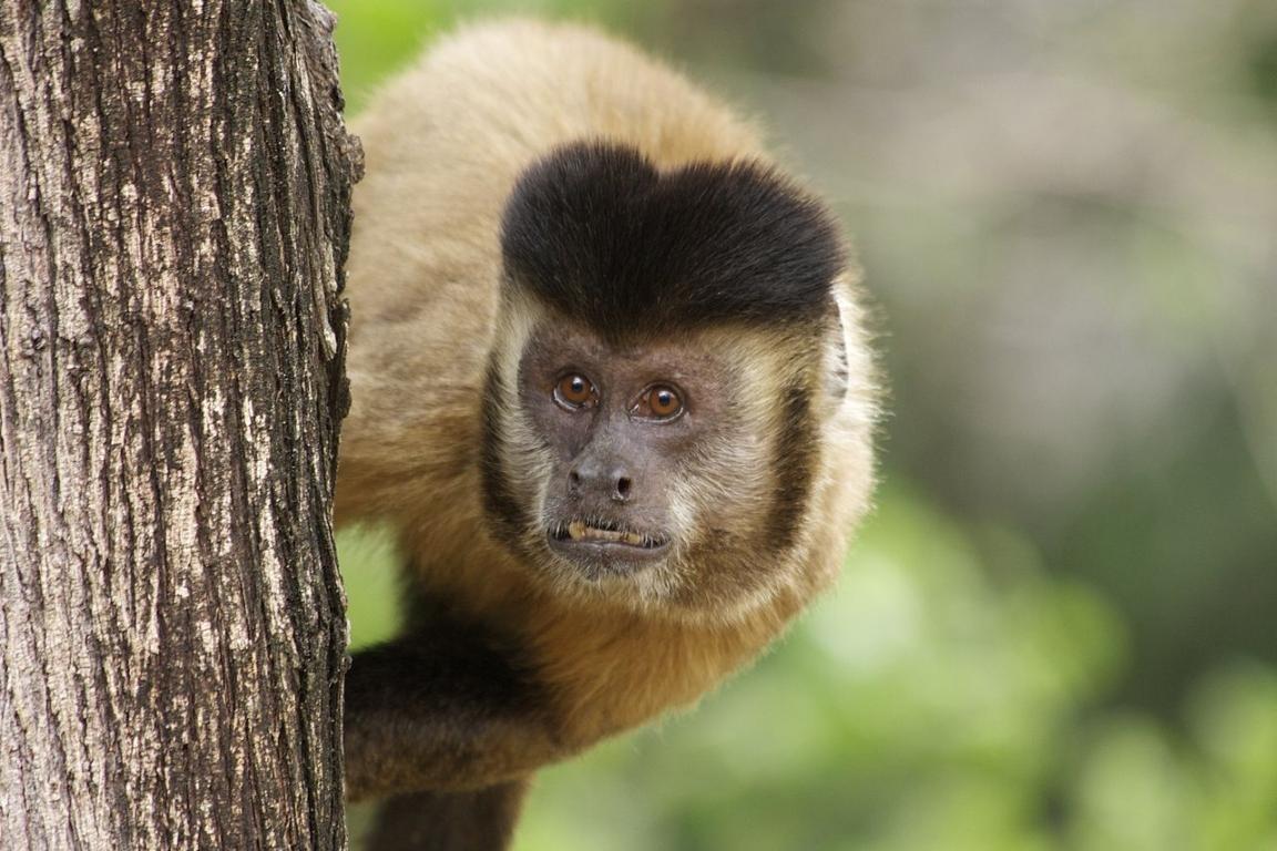 Muito macaco para pouco palmito